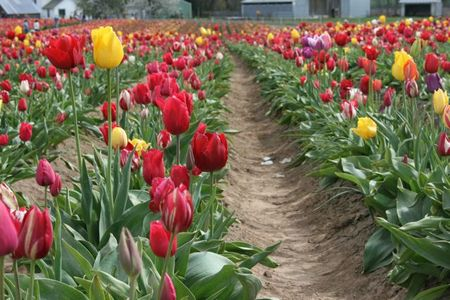 TulipFlower2