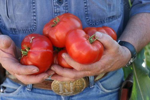 Papa's tomatoes