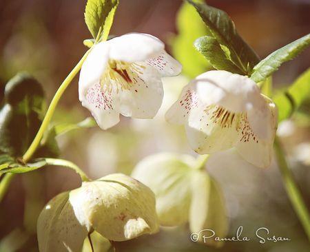 Garden-mom's-flowers-helleborus-3
