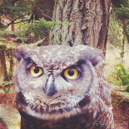 Audobun-society-portland-great-horned-owl-julio-2