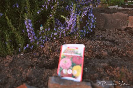 Earth-Day-zinnias-gnome-garden