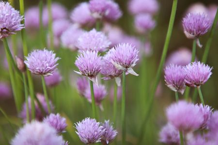 Backyard-chives-11
