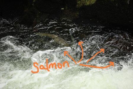 Alaska-salmon-1