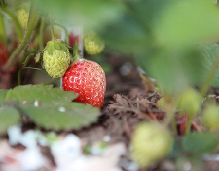 Backyard-strawberry-14