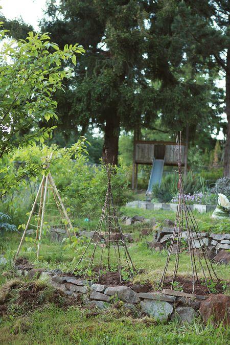 Backyard-teepee-beans-peas=15