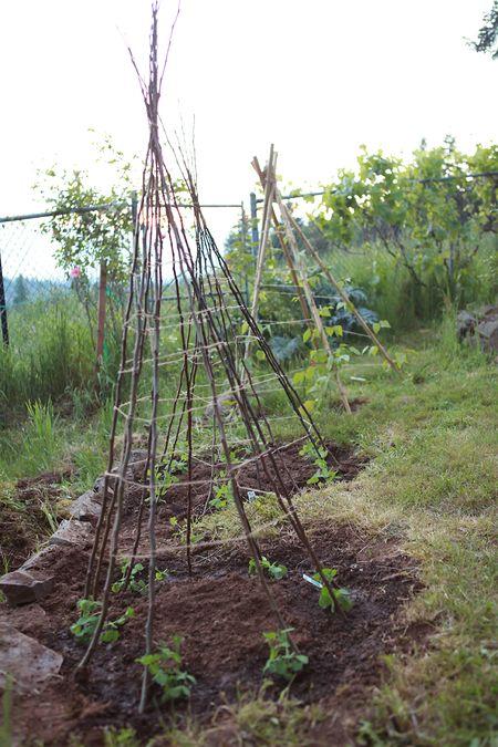 Backyard-teepee-beans-peas-16