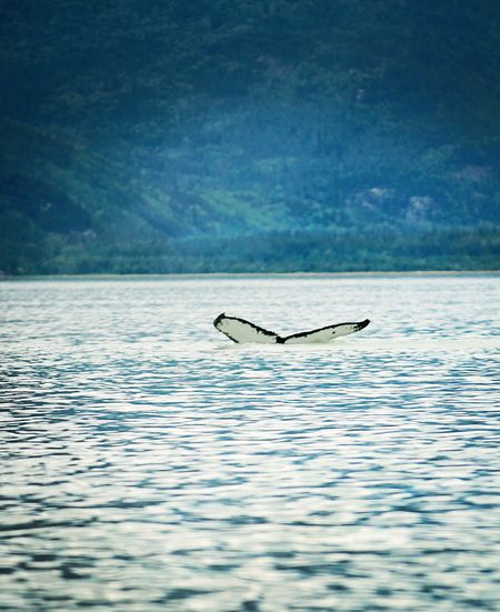Alaska-humpback-whale-1